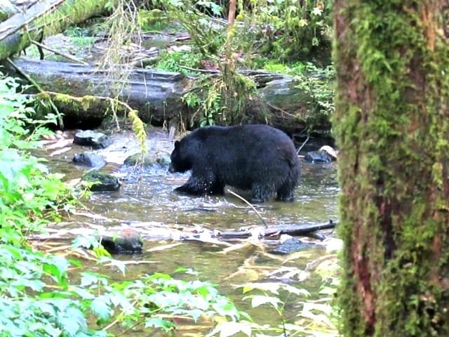 Bear-Hunting In Ketchikan