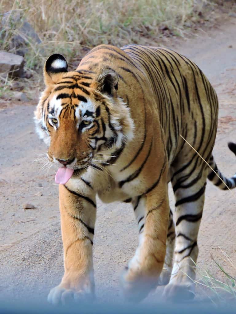 In Search Of The Elusive Tiger …