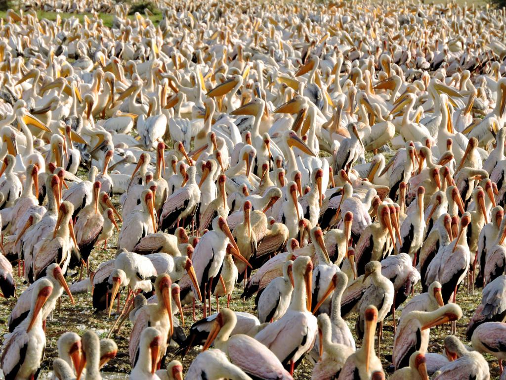 06-37 yellow-billed storks & pelicans (1024x768)
