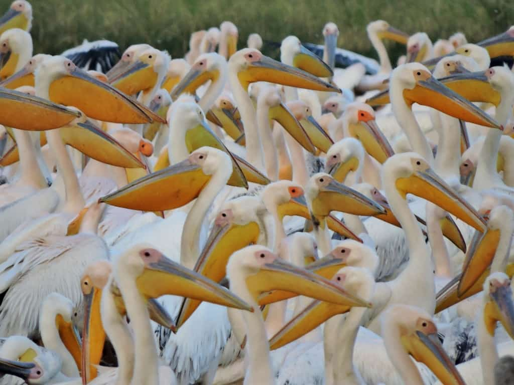 06-38 great white pelicans (1024x768)
